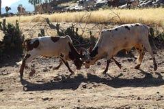 slåss för tjurar arkivfoto