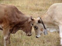 slåss för tjurar royaltyfri fotografi