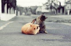 Slåss för två katter Fotografering för Bildbyråer
