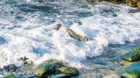 Slåss för två sjölejon arkivfoto