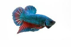 slåss fisk Fotografering för Bildbyråer
