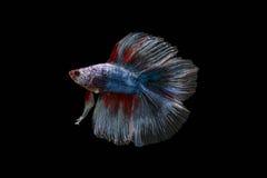 slåss fisk Arkivbilder