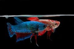 slåss fisk Royaltyfria Bilder