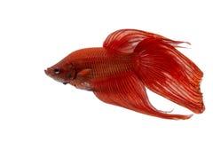 slåss fisk Royaltyfri Bild
