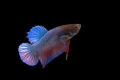slåss fisk Arkivbild
