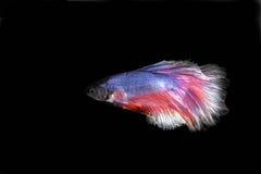 slåss fisk Royaltyfri Fotografi