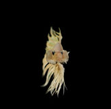 Slåss fisken Royaltyfria Foton