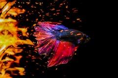 Slåss fisken, Betta fisk, siamese slåss fiskbad i flammor b royaltyfri foto