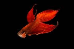 Slåss fisken på svart bakgrund Fotografering för Bildbyråer