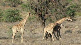 Slåss girafftjurar - Sydafrika lager videofilmer