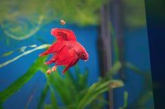 slåss rött siamese för fisk Betta fisk i akvarium Thailändsk stridighetfisk som är populär som en akvariefisk på bakgrunden av gr royaltyfri fotografi