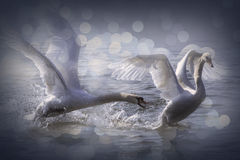 Slåss svanar Royaltyfri Bild