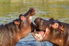 Slåss ung manlig flodhäst för flodhäst två Royaltyfri Fotografi