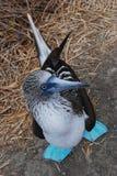 En footed booby för blått Arkivbild
