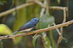 Slösa fågeln naped svart monark royaltyfri fotografi