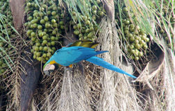 Slösa, göra grön och gulna fjädermunkhättapapegojan som äter kokosnöten Fotografering för Bildbyråer