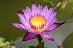 Slösa lotusblomma Royaltyfria Foton