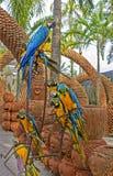 Slösa och gulna aran (Arara papegojor) i Nong Nooch den tropiska botaniska trädgården, Pattaya, Thailand Fotografering för Bildbyråer