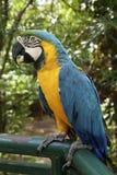 Slösa och gulna arapapegojan - munkhättaararauna i en zoo Arkivfoto