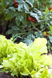 Sla en Tomaten/Tuin Royalty-vrije Stock Afbeeldingen