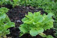 Sla groene groente in de tuin voor goede gezond en vers stock foto