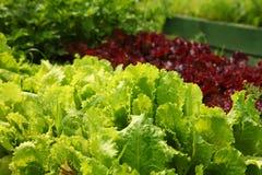 Sla het groeien in de tuin op het landbouwbedrijf Royalty-vrije Stock Fotografie