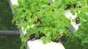Sla het groeien in serre Organisch hydroponic plantaardig landbouwbedrijf stock video