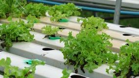 Sla het groeien in serre Organisch hydroponic plantaardig landbouwbedrijf stock videobeelden