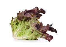 Sla of rood eiken-blad op wit Stock Foto