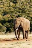 Sla stellen - Afrikaanse Bush-Olifant Royalty-vrije Stock Afbeelding