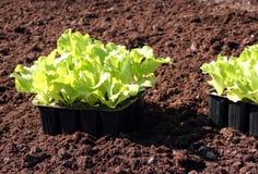 Sla in verse grond te planten stock afbeelding