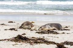 Slaap Australische Zeeleeuwen Neophoca cinerea op de kustlijn van het Kangoeroeeiland, Zuid-Australi?, Verbindingsbaai stock afbeeldingen