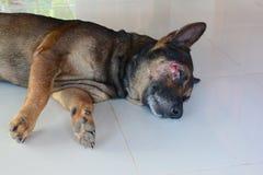 slaap bruine die hond op het gezicht wordt verwond stock afbeeldingen