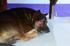 slaap bruine die hond op het gezicht wordt verwond royalty-vrije stock foto's