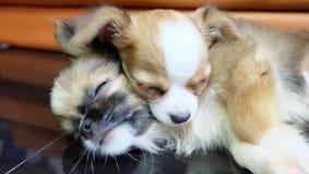 Slaap Chihuahua, kleine hond, aftappen stock afbeelding