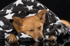 Slaap gemengde rassenhond op zwarte achtergrond Royalty-vrije Stock Foto's