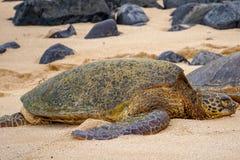 Slaap Groene Zeeschildpad stock foto's
