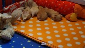 Slaap havanese puppys timelaps stock footage