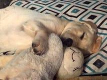 In slaap het puppy van Labrador terwijl het geknuffel van stuk speelgoed royalty-vrije stock afbeelding