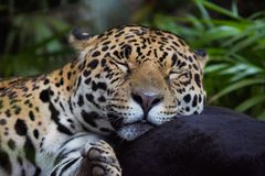 Slaap Jaguar stock foto's