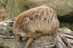 In slaap Meerkat stock afbeelding