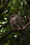 Slaap Tawny Frog Mouth in Avocadoboom royalty-vrije stock fotografie