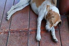 Slaap Thaise hond in openbare ruimte Stock Foto
