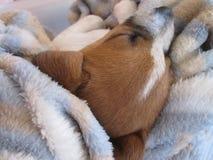 Slaap Wit en Bruin Puppy Stock Afbeelding