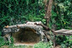 Slaap witte tijger bij Dusit-Dierentuin in Bangkok, Thailand royalty-vrije stock foto