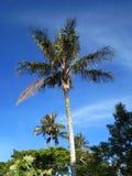 Slaapboom (Palme)/Schlafenwachs-Palme; Santa Marta Parakeet, Kapital stockfoto