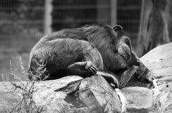 Slaapchimpansee royalty-vrije stock fotografie