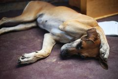 Slaaphond met poot op zijn hoofd stock foto