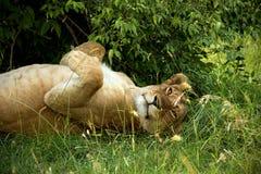 Slaapleeuwin in de struiken w Amboseli stock afbeelding