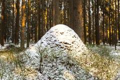 Slaapmierenhoop in het hout van de de winterspar in Karelië Royalty-vrije Stock Fotografie